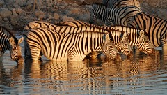 Zebras in the Morning, Okaukuejo Waterhole, Etosha National Park, Namibia