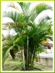 Dypsis Lutescens An Elegant And Graceful Yellow Butterfly