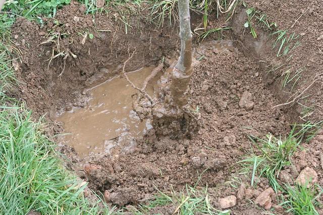 Plantation arbres fruitiers mise en place de l 39 arbre - Plantation d un fruitier ...