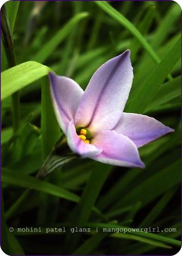 Ipheion Uniflora ~ Spring Star Flower