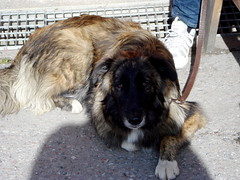 moscow watchdog(0.0), leonberger(0.0), street dog(0.0), dog breed(1.0), animal(1.0), dog(1.0), caucasian shepherd dog(1.0), pet(1.0), estrela mountain dog(1.0), mammal(1.0), karakachan dog(1.0), sarplaninac(1.0),