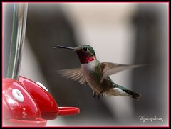 Ruby throat hummingbird sticking out his tongue