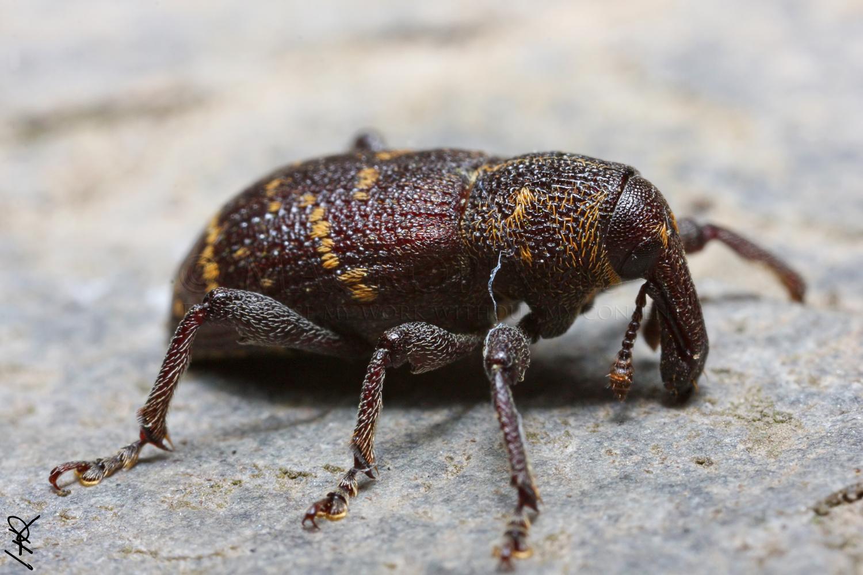 hylobius callirus abietis un beau gros charan on le monde des insectes. Black Bedroom Furniture Sets. Home Design Ideas