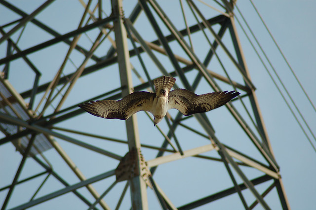 Osprey suspended in breeze