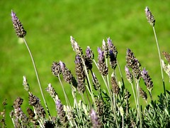 lavandula stoechas(0.0), prairie(1.0), flower(1.0), english lavender(1.0), grass(1.0), plant(1.0), lavender(1.0), macro photography(1.0), herb(1.0), wildflower(1.0), flora(1.0), meadow(1.0), plant stem(1.0),