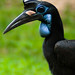 Abyssinian Ground-Hornbill - Photo (c) Malcolm, some rights reserved (CC BY-SA)
