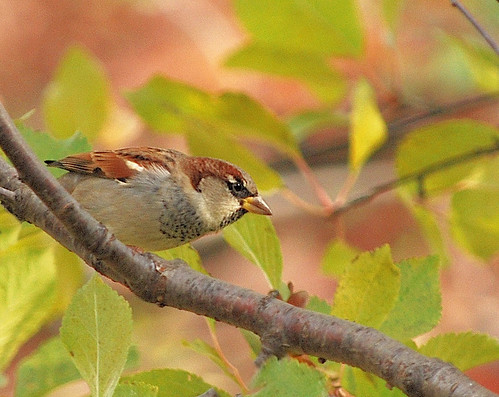 Sparrow in Autumn