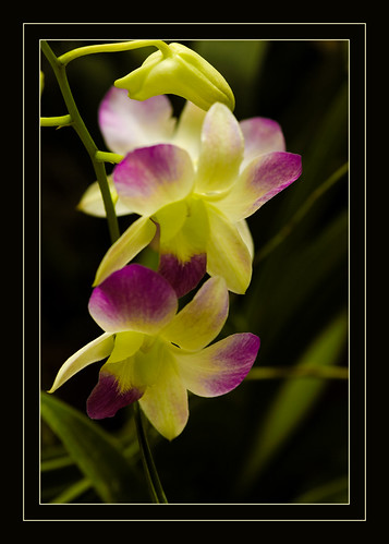 Orchids (2) By Davolly59