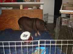 Smithfield the Painting Pig
