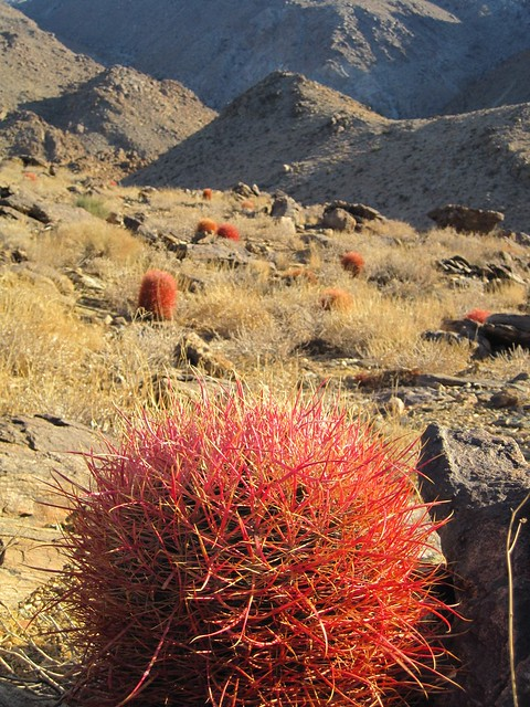 barrel cacti at Joshua Tree