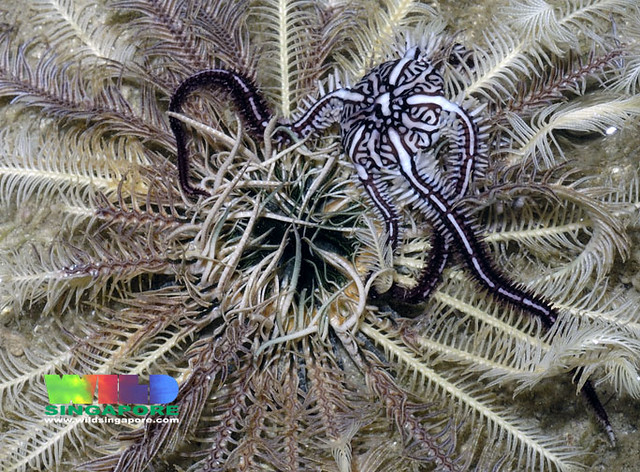 Pale feather star (Class Crinoidea)  with Feather-hitching brittle star (Ophiomaza cacaotica)