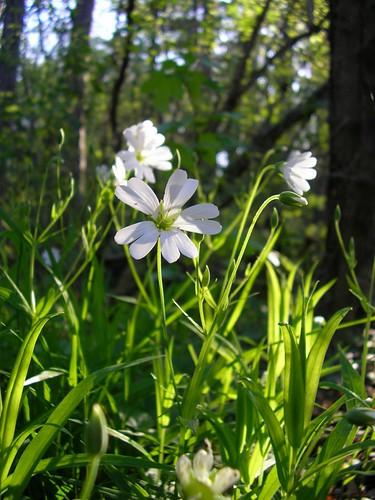 light white flower green nature sunrise spring flora hungary hike sanyo természet tavasz pécs virág xacti fény stellariaholostea mecsek zöld fehér napfelkelte olocsánycsillaghúr