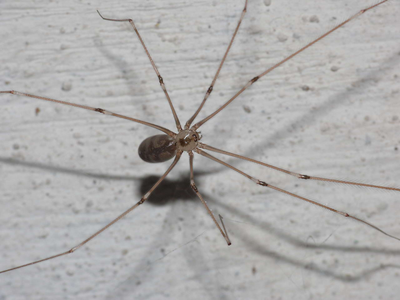 L 39 araignee domestique for Araignee de maison
