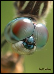 Blue Dasher Dragonfly macro