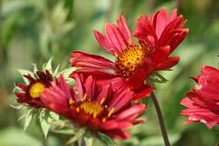 gaillardia, annual plant, flower, plant, macro photography, flora, petal,