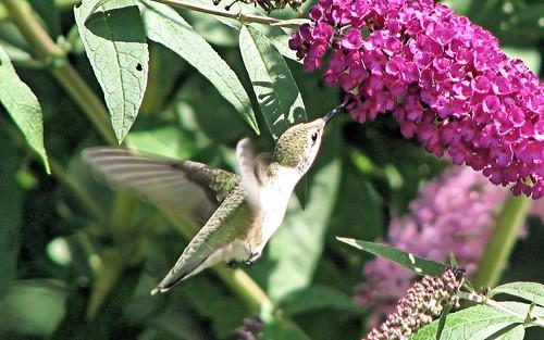 8-15 humming bird1