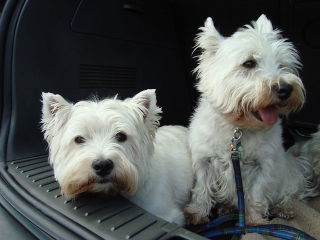 Cute Funny West Highland White Terrier Puppies Going Shopping