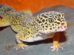 Leopardgeckos