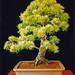 Japanese White Pine Bonsai Tree, Pinus parviflora