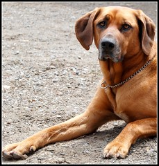 minidog