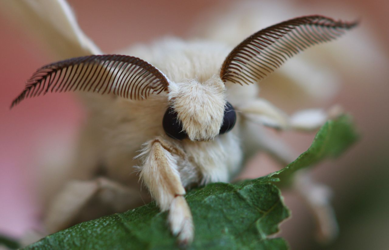 Silkworm Moth - a photo on Flickriver