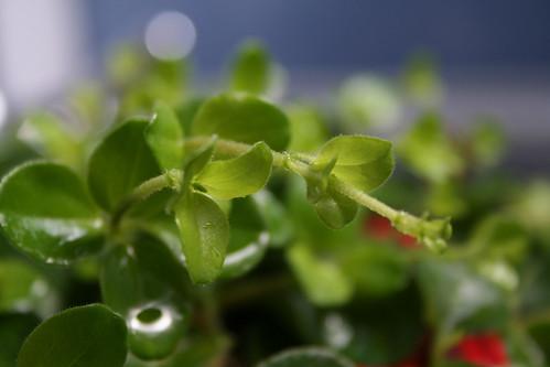 Indoor Low Light Gardening Plant Profile Peperomia