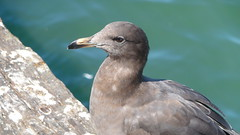 Sea gull in repose