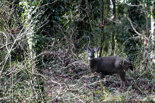deer in the backyard    MG 9943