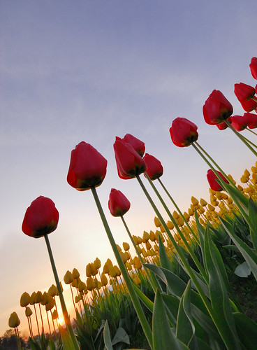 Tulips Sunrise