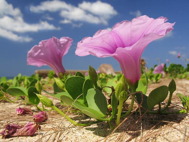 Pink Beach Flower Thailand Asia Strand Rosa Blume