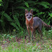 Florida Foxes