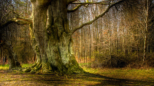 Old Danish tree