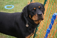 appenzeller sennenhund(0.0), austrian black and tan hound(0.0), dog breed(1.0), animal(1.0), dog(1.0), pet(1.0), mammal(1.0), greater swiss mountain dog(1.0), transylvanian hound(1.0), polish hunting dog(1.0), rottweiler(1.0),