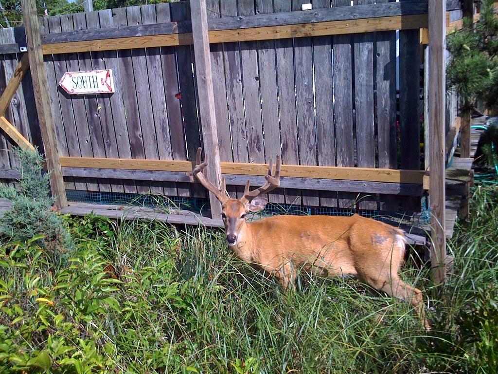 Southbound Deer