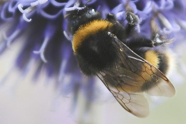 Bumble Bee Close Up | Flickr - Photo Sharing!