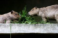 rat(0.0), mouse(0.0), muridae(0.0), whiskers(0.0), gerbil(0.0), animal(1.0), rodent(1.0), fauna(1.0), capybara(1.0), wildlife(1.0),
