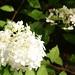 White Hydrangea paniculata / Witte Hydrangea paniculata