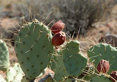 barbary fig, plant, thorns, spines, and prickles, flora, produce, eastern prickly pear, caryophyllales,