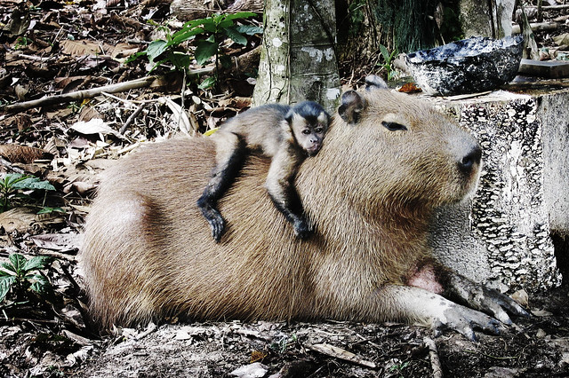 Capybara and Monkey