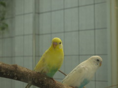 atlantic canary(0.0), canary(0.0), pet(0.0), animal(1.0), lovebird(1.0), parrot(1.0), yellow(1.0), wing(1.0), fauna(1.0), finch(1.0), parakeet(1.0), common pet parakeet(1.0), beak(1.0), bird(1.0),