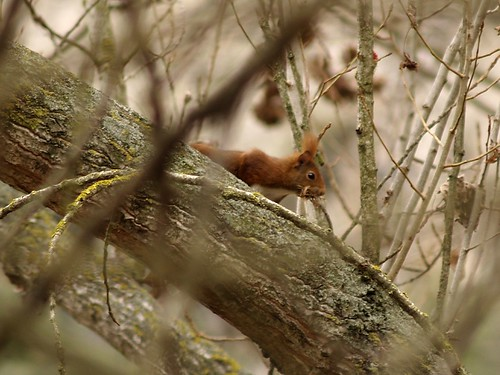 Esquirol - Ardilla - Squirrel (Sciurus vulgaris) 4