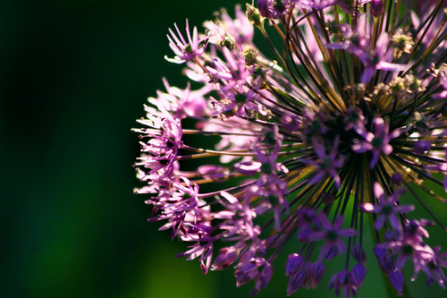 Evening Allium