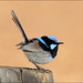 Superb Fairywren - Photo (c) teejaybee, some rights reserved (CC BY-NC-ND)