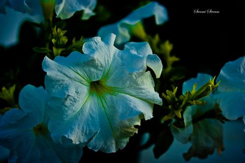 sunset india white flower macro canon rebel petunia ulsoor xti swamistream swamistreamcom