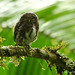 Northern Pygmy-Owl - Photo (c) Michael Woodruff, some rights reserved (CC BY-SA)
