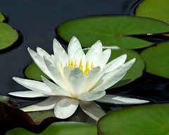 WHITE WATER LILY 4  tsg