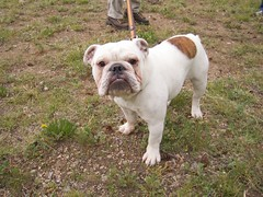 dog breed(1.0), animal(1.0), dog(1.0), old english bulldog(1.0), british bulldogs(1.0), pet(1.0), olde english bulldogge(1.0), white english bulldog(1.0), australian bulldog(1.0), toy bulldog(1.0), carnivoran(1.0), bulldog(1.0),