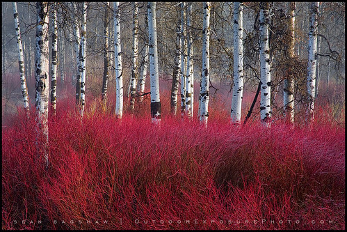 Red Willow Sea