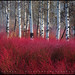 Red Willow Sea by Sean Bagshaw