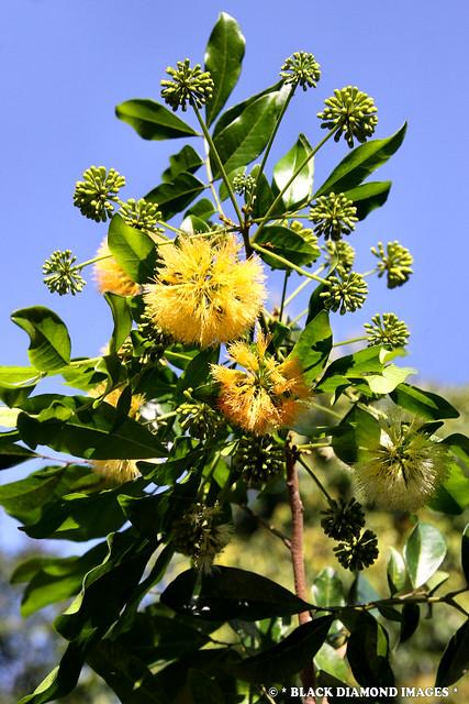 Pararchidendron pruinosum var. pruinosum-Snowwood,Tulip Sirus